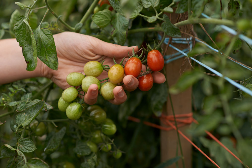Cherry tomatoes in the giving garden
