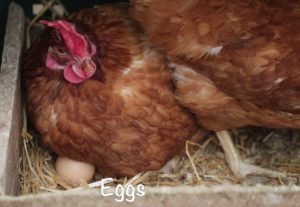 eggs are laid by hens - healthy eating